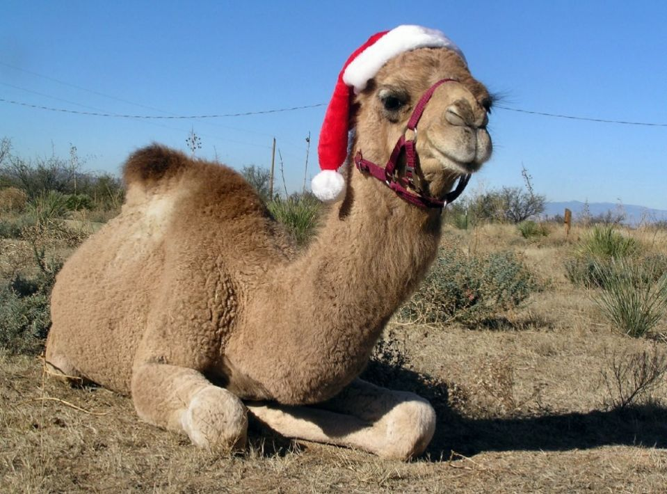 Christmas is Coming….On Camels | Heartland Christian Academy
